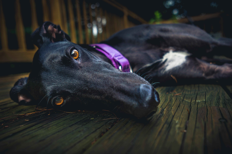 Greyhound Racing Returns with a Bang